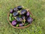 Как выбрать баклажаны без семечек и прожилок