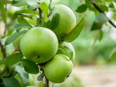 Как хранить яблоки зимой в домашних условиях